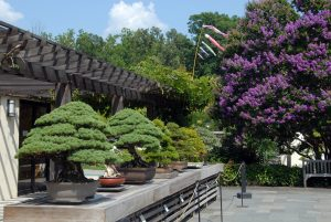 Bonsai from Japan Welcome Visitors to National Bonsai & Penjing Museum