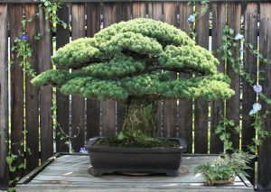 The Yamaki Pine, renowned as a Hiroshima survivor, will be a focal point of the November 15th presentation at DC's Japan-America Society.