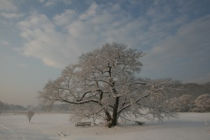 A Yoshino Cherry Tree at the US National Arboretum in the snow.